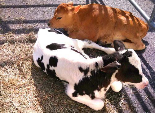 GW_FallOpenHouse_cows